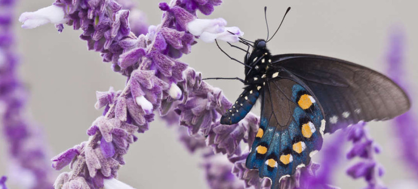 Pipevine Swallowtail butterfly in Southwest Texas. (photo: JNB Photography/Shutterstock)