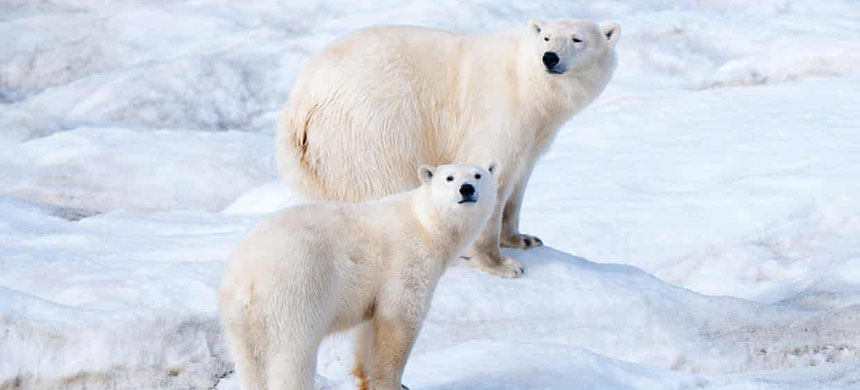 Polar bears in Arctic Russia are losing their sea-ice habitat. (photo: All Canada Photos/Alamy)