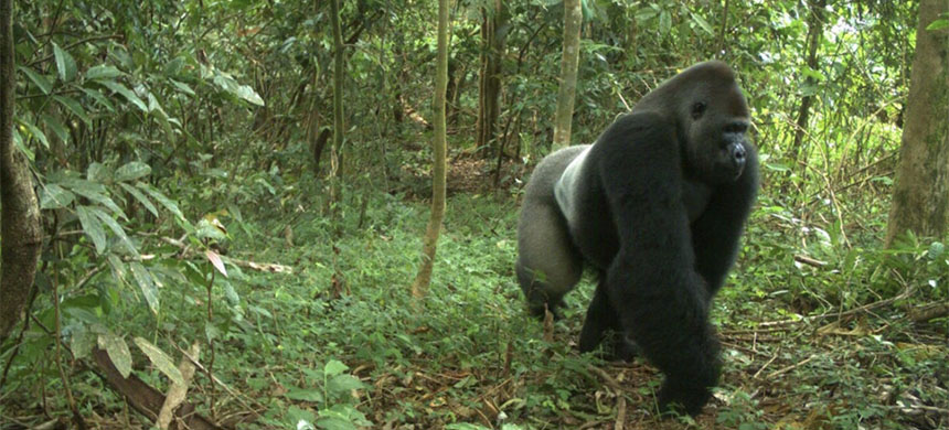 A cross river gorilla, one of only about 300 believed to survive in the wild. (photo: WCS)