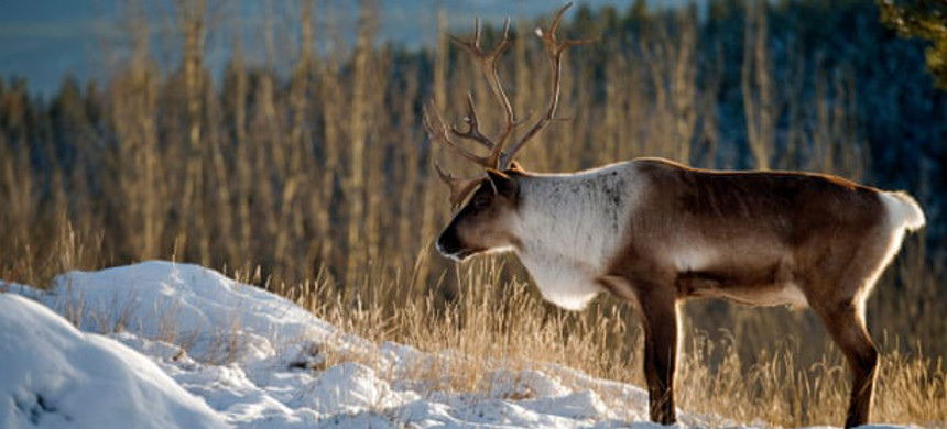 A caribou. (photo: Alamy)