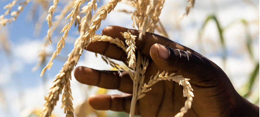 Just three crops - wheat, corn and rice - make up nearly 60 percent of the plant-based calories in most diets, according to a new report. Above, a farmer inspects a plant in her dry maize field on March 13 in Zimbabwe. (photo: Jekesai Njikizana/AFP/Getty Images)