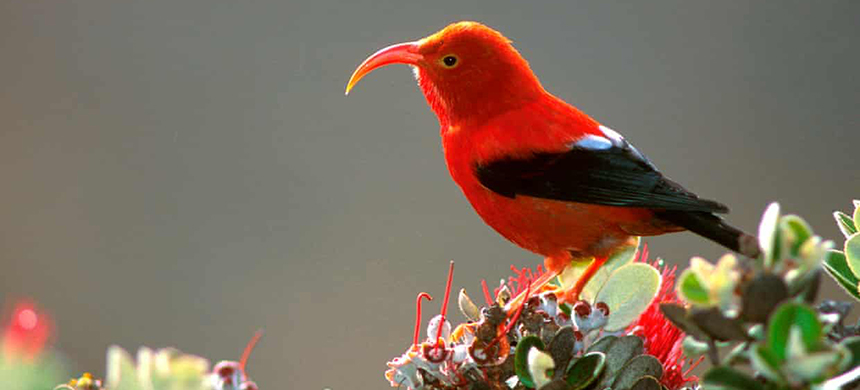 Work by one Landscape Conservation Cooperative helped the I'iwi, an endemic Hawaiian honeycreeper, listed as 'threatened' under the federal Endangered Species Act. (photo: Jack Jeffrey/AP)