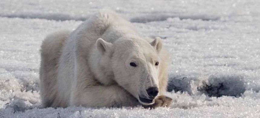 A polar bear was found wandering in the Russian village of Tilichiki on April 16, 700km from his home. (photo: Alina Ukolova)