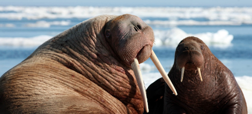 The Trump administration rejected federal protection for more than 50 species such as the Pacific walrus. (photo: MMC)