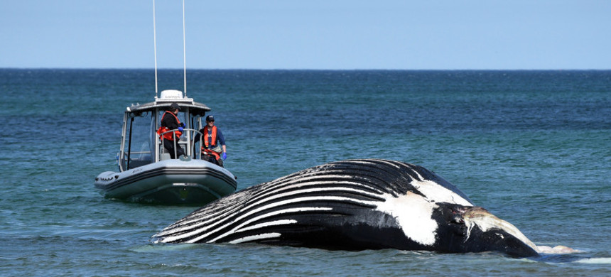 Vector, a female humpback whale, is towed ashore on Sandy Neck Beach. The whale weighs 40 tons and is 13.6 meters. She has been known to Cape Cod waters since 1984. (photo: Faith Ninivaggi/Boston Herald)
