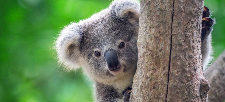 Animal campaigners say that koala numbers have fallen so low that the animal is 'functionally extinct.' (photo: Getty Images)