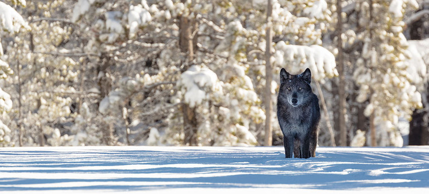 A wolf pauses near the entrance to Artist Paint Pots in Yellowstone National Park. Wolves were reintroduced to Yellowstone and central Idaho in 1995 and 1996. (photo: Jacob W. Frank/NPS)