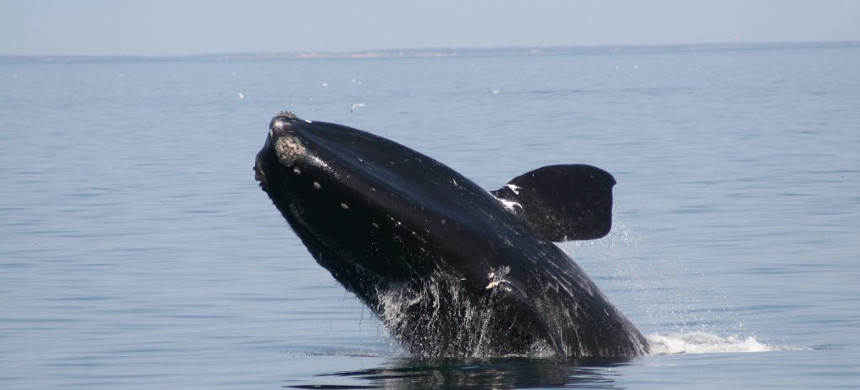 Endangered North Atlantic right whale. (photo: Whale and Dolphin Conservation)