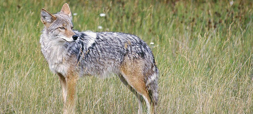 A coyote in a field. (photo: Karen Nichols/AP)