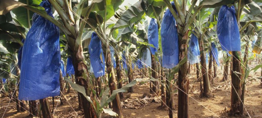 Plastic is used all throughout food production. Here, bananas growing on a plantation in Cameroon are covered in plastic bags to prevent disfiguring marks. (photo: Getty)