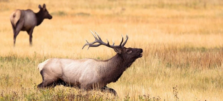 A pair of elk. (photo: Getty)