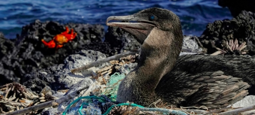 A flightless cormorant sits on her nest surrounded by plastic waste. (photo: Rodrigo Buendia)