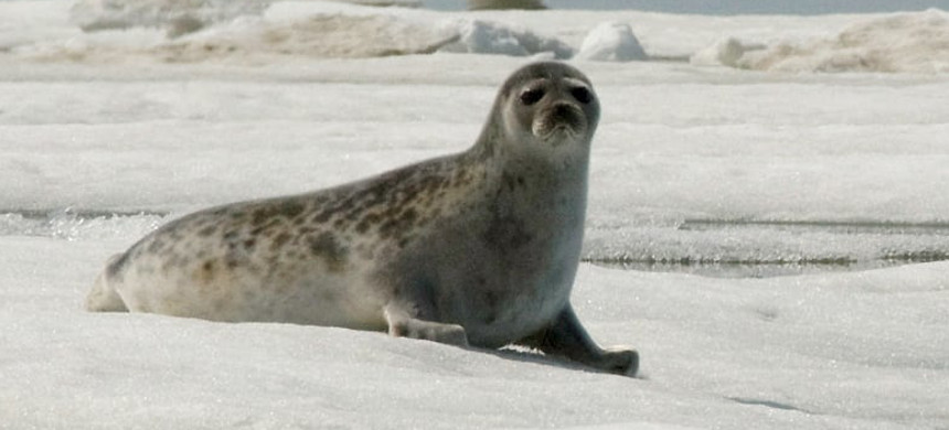 An adult ringed seal in Kotzebue, Alaska. (photo: Mike Cameron/AP)