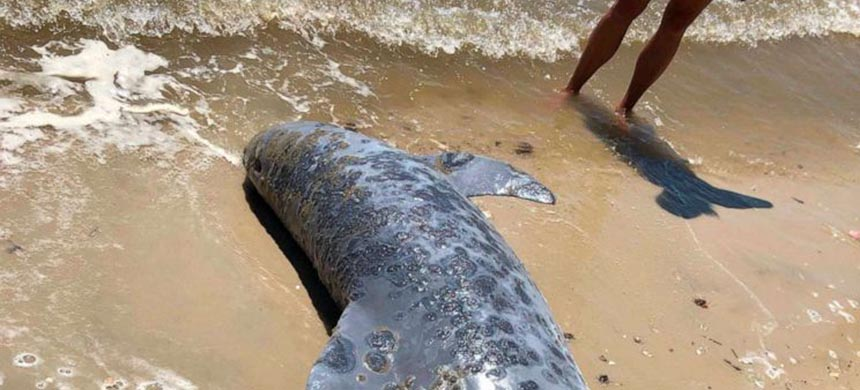 This undated photo provided by the Institute for Marine Mammal Studies shows lesions on a dolphin stranded along the U.S. Gulf Coast shoreline. (photo: Moby Solangi/AP)