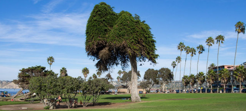 RIP, Lorax Tree. (photo: San Diego Parks and Recreation)