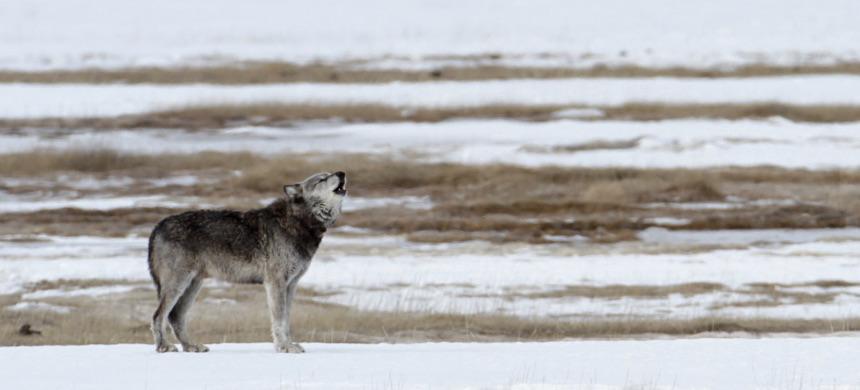 Gray wolf in Yellowstone National Park. (photo:  Jim Peaco)