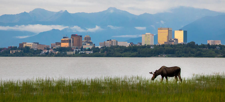 A moose grazing near Anchorage, Alaska. (photo: Shutterstock/BILD)