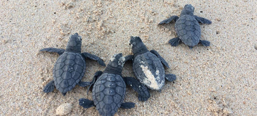Sea turtles. (photo: Lucy Hawkes)