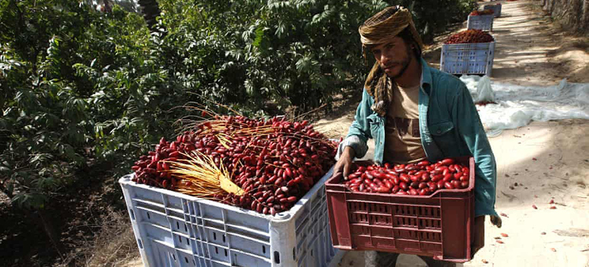 A Palestinian farmer carries dates harvested in Khan Yunis, in the Gaza Strip. The area has been repeatedly damaged by herbicide spraying, according to a report. (photo: Said Khatib/AFP/Getty Images)