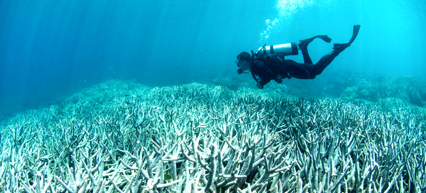 In a severe heat wave, the whole structure of a coral colony collapses. (photo: Getty Images)
