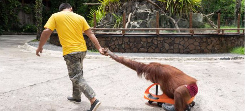 At the Avilon Zoo in the Philippines, an orangutan dressed in human clothes is used as a photo prop for tourists. (photo: World Animal Protection)