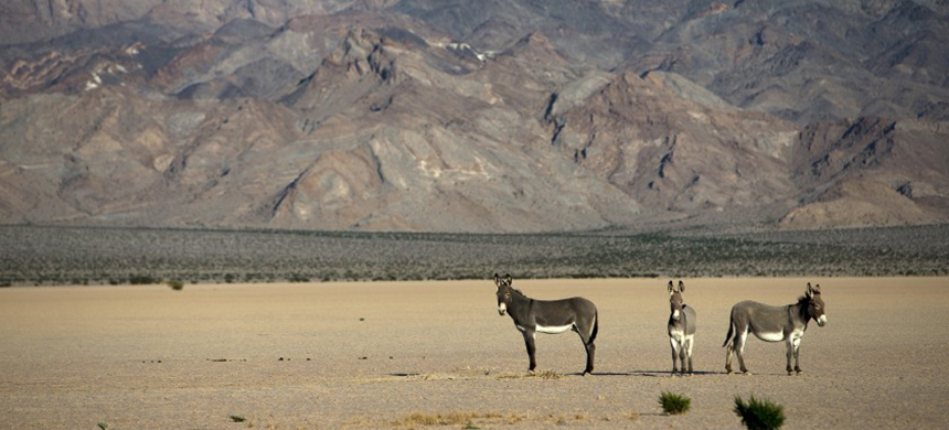 Wild burros on a dry lake bed in the Silurian Valley in October 2014. Since May 2019, a total of 42 wild burro carcasses with gunshot wounds have been found along Interstate 15 near the California-Nevada state line. (photo: Gina Ferazzi/Los Angeles Times)
