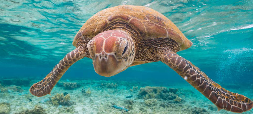 Around half the Great Barrier Reef was killed or damaged by coral bleaching in 2016 and 2017, with green turtles among the species suffering from significant habitat loss. (photo: Getty)