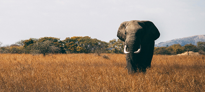 An African elephant. (photo: WTTC)
