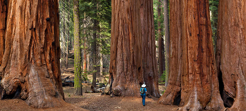 Giant sequoia trees in Sequoia national park, Sierra Nevada, California. (photo: Alamy)