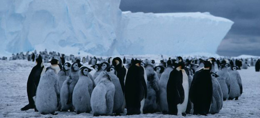 Emperor penguins need a reliable and stable platform of sea-ice. (photo: SPL)