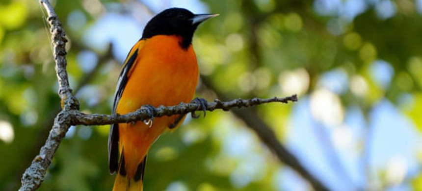 If the world experiences 3C warming, the Baltimore oriole is predicted to lose 57% of its wintering habitat range, while also facing threats from fire weather, spring heat, heavy rain and urbanization. (photo: Kyle Horton)