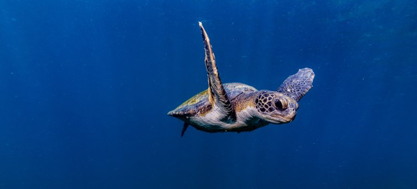 A seat turtle swimming off the coast of Arraial Do Cabo, Brazil. (photo: Tiago Santos/Getty Images)