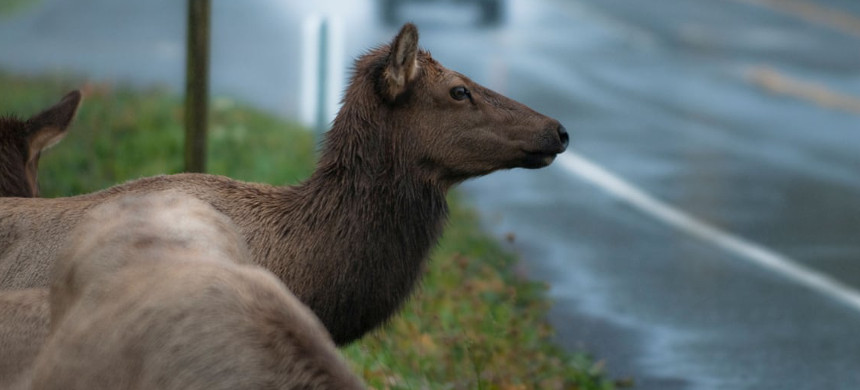 Increasing numbers of outdoor recreationists - everything from hikers, mountain bikers and backcountry skiers to Jeep, all-terrain vehicle and motorcycle riders, aren't good for Elk populations. (photo: Alamy)