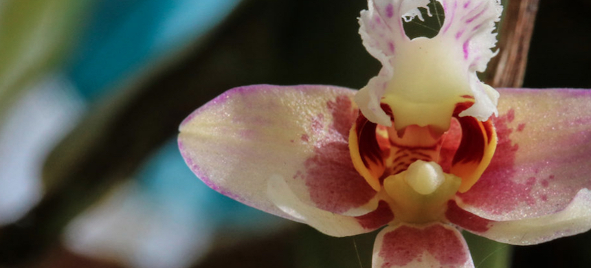 Example of an endangered orchid species from Cameroon and Gabon. (photo: IRD)