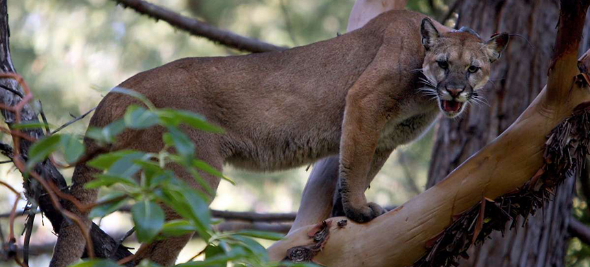 Mercury is a potentially lethal problem for cougars because it bioaccumulates in their fat and could eventually contribute to their demise. (photo: Michael Macor/The Chronicle 2008)