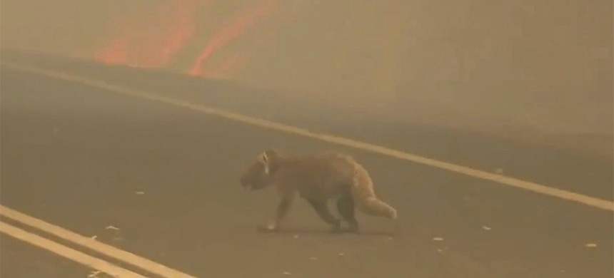 A video shows a woman rescuing a koala from Australia's wildfires. (photo: VOA News/YouTube)