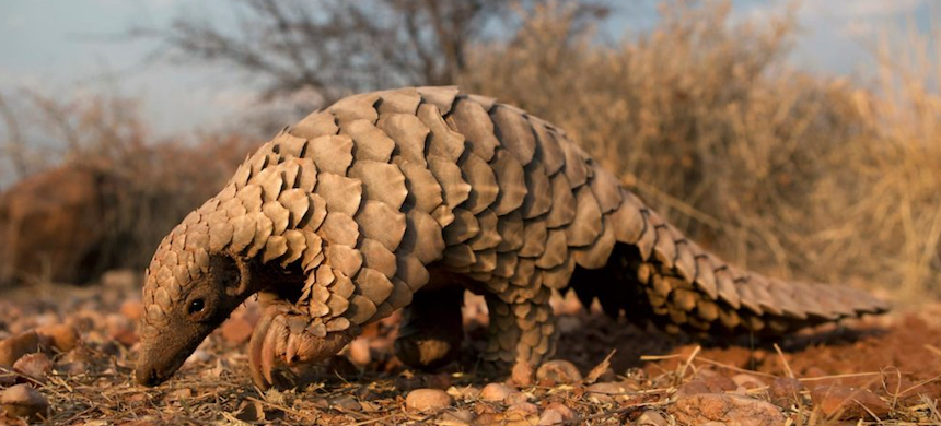Chinese health insurance will no longer cover traditional medicine containing the scales of pangolins, which are threatened with extinction. (photo: The Catch Me If You Can)
