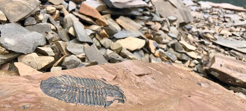 The Burgess Shale fossils, including this well-preserved trilobite, are the result of an ancient underwater landslide that entombed tens of thousands of animals more than half a billion years ago. (photo: Sarah Kaplan/The Washington Post)
