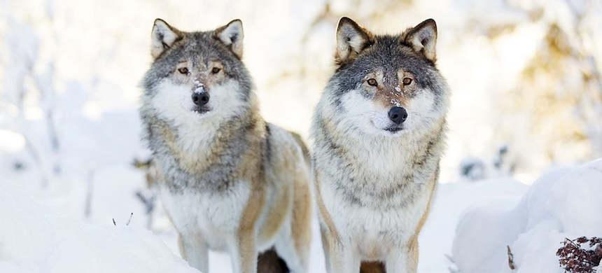 Wolves standing in the woods on a cold winter day. (photo: Getty Images/iStockphoto)