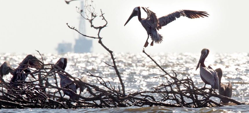 Two years after the 2010 BP oil spill, pelicans nest in an area that was heavily affected. (photo: Ted Jackson/The Times-Picayune/The Advocate)