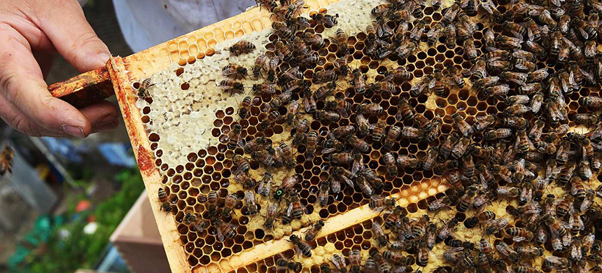 Honey bees. (photo: Dan Kitwood/Getty Images)