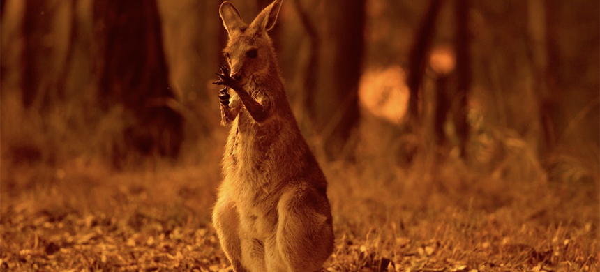 A wallaby licks its burnt paws after escaping a bushfire on the Liberation Trail near the township of Nana Glen on the Mid North Coast of NSW, Nov. 12, 2019. (photo: Wolter Peeters/The Sydney Morning Herald/Fairfax Media/Getty Images)