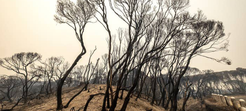 Burnt stand of trees in Australia. (photo: Luis Ascui/Getty)