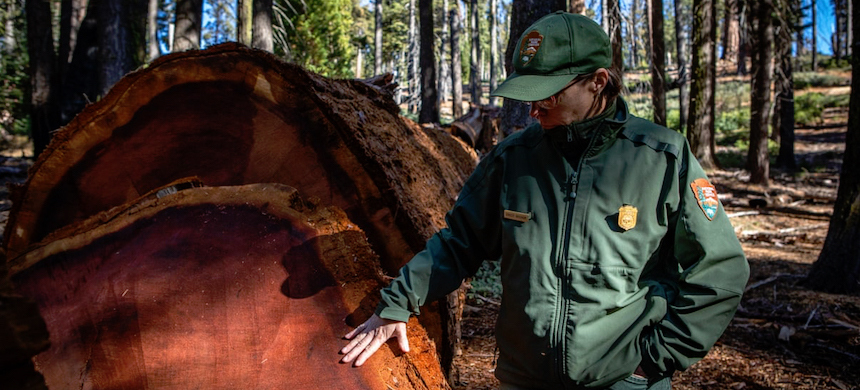 Dr. Christy Brigham locates a group of dead sequoias and observes a fallen monarch. (photo: Patrick Greenfield/Guardian UK)