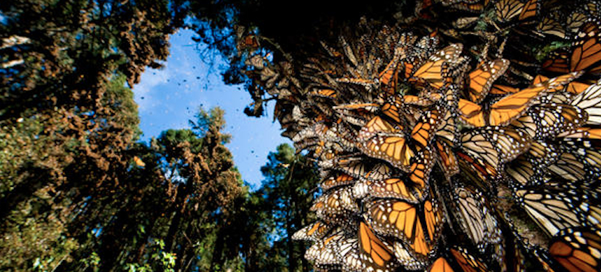 A winter sanctuary for monarch butterflies, in Sierra Chincua, Mexico. (photo: Joel Sartore/CBS)