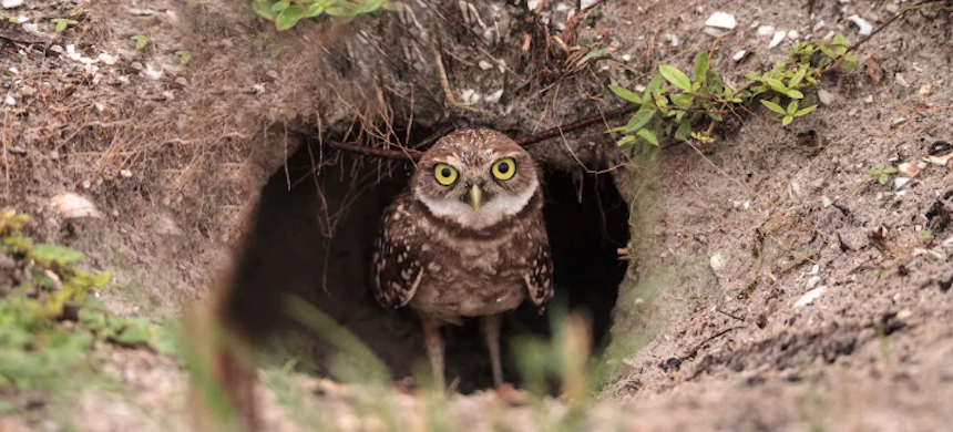 A baby burrowing owl perched outside its burrow on Marco Island, Florida. (photo: LagunaticPhoto/iStock/Getty Images Plus)