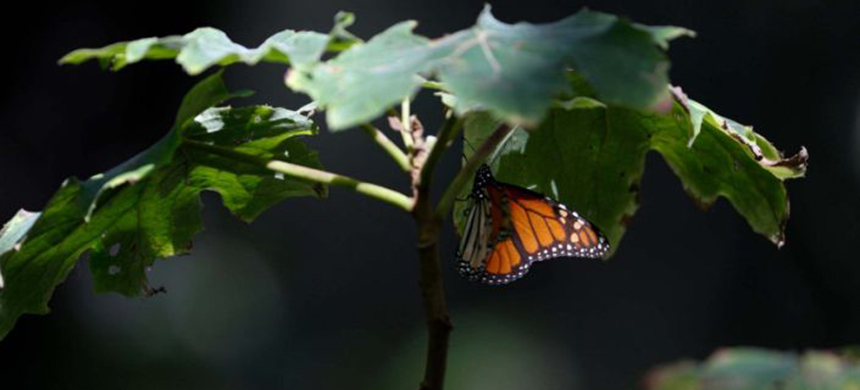 A monarch butterfly rests on a plant in the winter nesting grounds of El Rosario Sanctuary, near Ocampo, Michoacan state. (photo: AP)