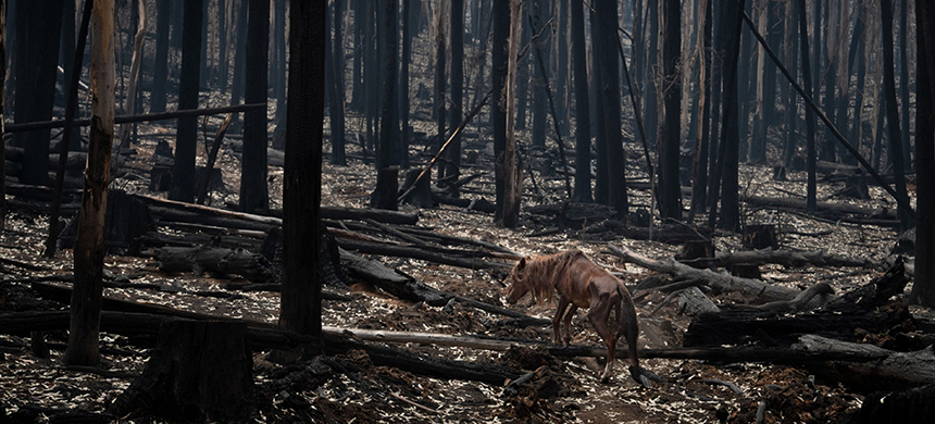 A malnourished wild horse in Australia's Bago State Forest. (photo: Matthew Abbott/NYT/Redux)