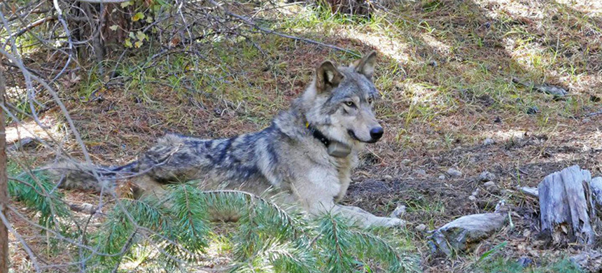 The endangered female gray wolf with the identity OR-54. (photo: U.S. Fish and Wildlife Service)
