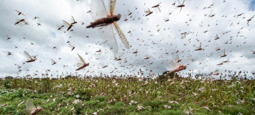 Desert locusts have swarmed into Kenya by the hundreds of millions from Somalia and Ethiopia, where such numbers haven't been seen in a quarter-century. The insects are decimating farmland, threatening an already vulnerable region. (photo: Ben Curtis/AP)